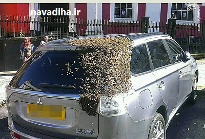 عکس/ تلاش زنبورها برای نجات جان ملکه!