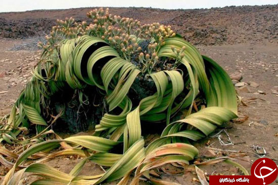عجیبترین و زشتترین گیاه دنیا