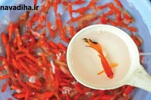 بایدها و نبایدها درباره ماهی قرمز سفره هفت سین