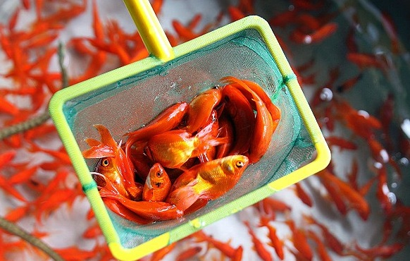 برای عید به هیچ وجه این ماهی های قرمز را نخرید/ روش نگهداری ماهی قرمز خانگی