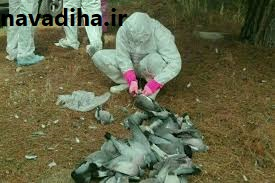 کلیپ تلف شدن  و دفن ۵۰۰۰ کبوتر در اسلام آباد غرب. علت در آزمایش اولیه آنفولانزا نبوده