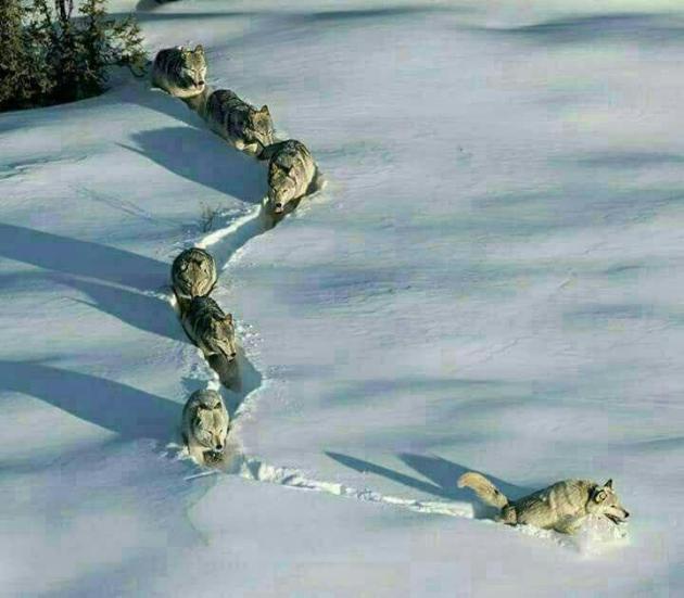 تصویری زیبا از گله گرگها در برف