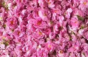 عفونت تنفسی را با این گل از بین ببرید