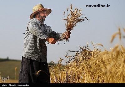 فائو: افزایش تولید گندم ایران متوقف شد