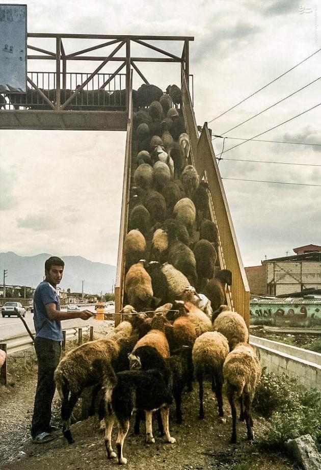 گوسفندان با فرهنگ !