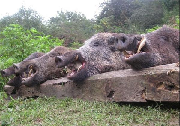 عکس های دردآور شکارچیان خارجی در مازندران + ابتکار کجایی؟