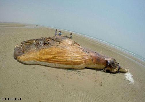 عکسهای نهنگ ۱۳ متری در سواحل بوشهر