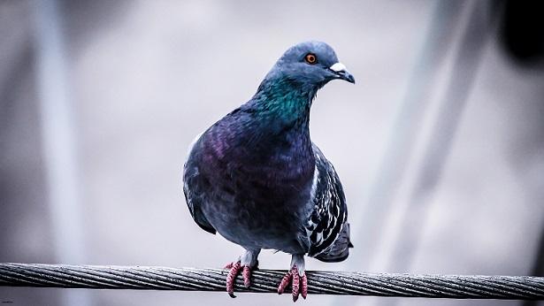 عکس زیبای HD از کبوتر