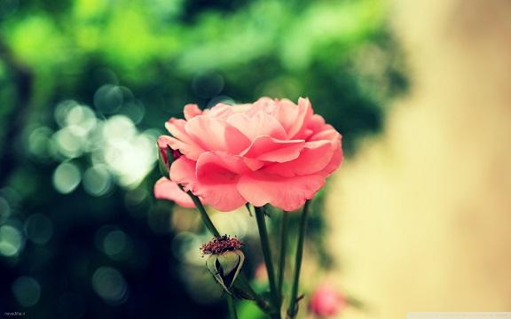 تک عکس زیبا از گل با کیفیت عالی – WIDE HD
